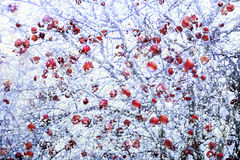 Frosted red apples in winter Stock Photography