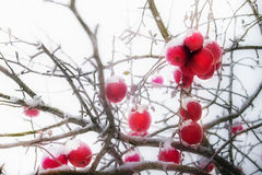 Frosted red apples in winter Royalty Free Stock Images