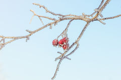 Frosted red berries Royalty Free Stock Photos