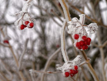 Frosted red berries on shrub in winter. Frosted red berries and branches of a Viburnum - common name European cranberry bush. German nature in winter at a frosty Royalty Free Stock Photo
