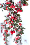 Frosted red berries royalty free stock images