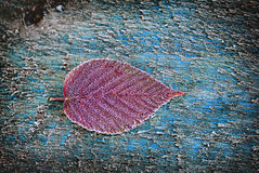 Frosted Red Blackberry Leaf. A single frosted red blackberry leaf on a piece of rough frosted deck wood Stock Photos