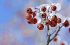 Frosted red fruits Royalty Free Stock Photos