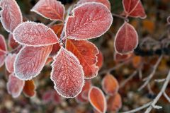 Frosted red leaves Royalty Free Stock Photography