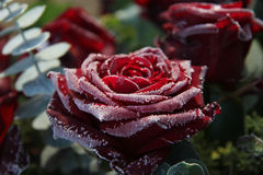 Free Frosted Red Rose Royalty Free Stock Image - 28149006