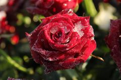 Frosted red rose. Single red rose, covered with ice crystals Royalty Free Stock Photography