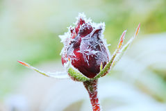 Frosted rose Stock Images