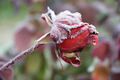 Frosted rose Stock Photography