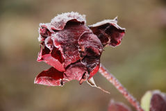 Frosted rose Stock Photos