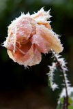Frosted rose Royalty Free Stock Photography