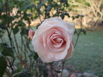 Frosted Rose Bud. Frosted pink Rose Bud with rose bush background Stock Images
