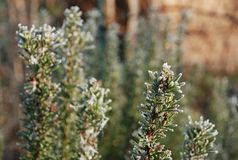 Frosted Rosemary Stock Image