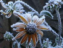 Frosted rudbeckia. Rudbeckia flower covered in hoarfrost Stock Image