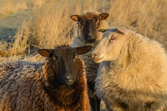 Frosted Sheep. Frost covered sheep in winter Royalty Free Stock Photography