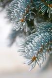 Frosted sosnowe igły na drzewie Obrazy Royalty Free
