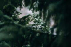 Frosted spruce Royalty Free Stock Photo