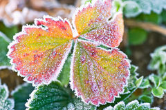 Frosted Strawberry Leaves Stock Image