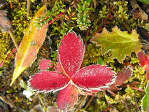 Frosted strawberry leaves, Yoho National Park, Canada Stock Image