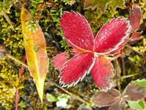 Frosted strawberry leaves, Yoho National Park, Canada Royalty Free Stock Photography