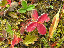 Frosted strawberry leaves, Yoho National Park, Canada Royalty Free Stock Photo