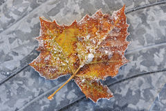 Frosted Sycamore Leaf. Frosted, autumn sycamore leaf resting on a frozen puddle Stock Images