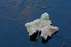 Frosted Sycamore Leaf on Ice. Frosted sycamore leaf resting on frozen pond surface, Michigan, USA Royalty Free Stock Photo