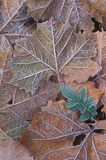 Frosted Sycamore Leaves Royalty Free Stock Images
