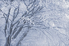 Frosted tree Stock Image