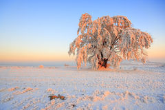 Frosted tree royalty free stock image