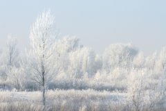 Frosted Tree. Frost covered landsape, completetly turned white Royalty Free Stock Images