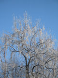 Frosted tree Royalty Free Stock Photos