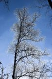 A frosted tree on a background of blue sky, winter landscape. A frosted tree on a background of blue sky, winter landscape Stock Photography