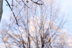 Frosted tree branch Royalty Free Stock Image
