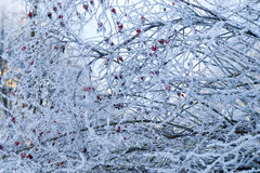 Frosted tree branch Royalty Free Stock Images