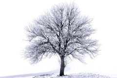 Frosted tree Royalty Free Stock Photography