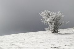Frosted tree shaped by the wind Royalty Free Stock Photo