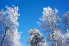 Frosted tree tops on sky background Royalty Free Stock Photography