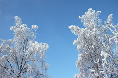 Frosted tree at winter Royalty Free Stock Image