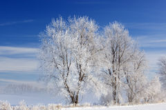 Frosted Trees Royalty Free Stock Images