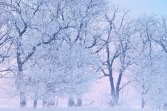 Frosted Trees at Dawn Royalty Free Stock Images