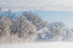 Frosted Trees in Fog Royalty Free Stock Photo