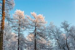 Frosted trees Stock Image