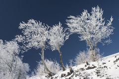 Frosted trees. In January of blue sky Royalty Free Stock Photo