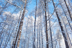 Frosted trees on sky background Stock Photo