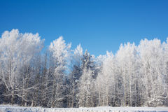 Frosted trees on sky background Royalty Free Stock Photography