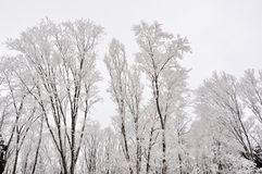 Trees in white. Trees frosted by snow are beautifully in white on the peak of Songhua Lake Ski Resort Royalty Free Stock Image
