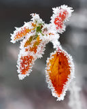 Frosted twigs and leaves Royalty Free Stock Photo