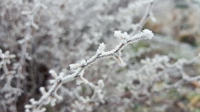 The frosted twisty twig Royalty Free Stock Image