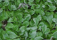 Frosted Valerian Leaves Royalty Free Stock Image
