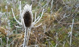 Frosted weed. Oregon landscape winter Royalty Free Stock Photo